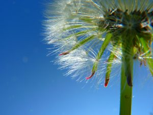 allergie rhinitis pinienrindenextrakt