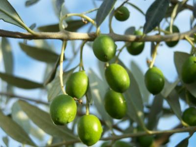 Olivenblätter Bluthochdruck senken